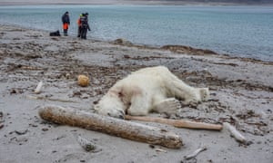 The shot polar bear, killed in Svalbard by a tourism guard.