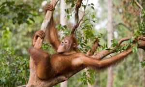 Orangutans have been shown to experience a similar phenomenon to the human midlife crisis.