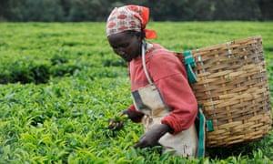 Top tips: a woman plucks leaves at a Fairtrade tea garden in Kenya.