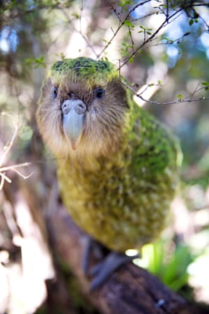 Sirocco is a kakapo, a large nocturnal parrot, who has his very own Facebook page with more than 170,000 likes.