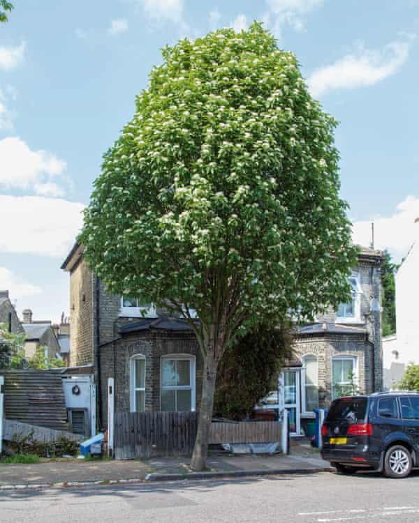 The bastard service tree, a hybrid of whitebeam and rowan.