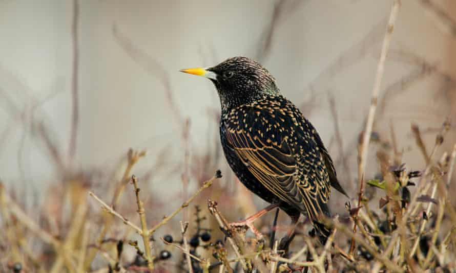 An adult male starling