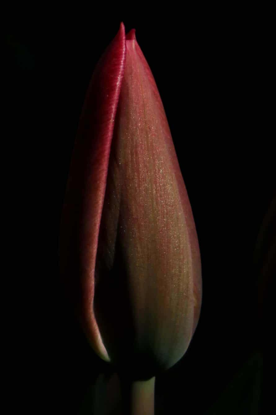 The tulip variety Christmas Dream, 20 March