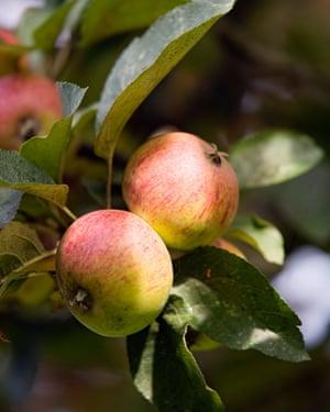 France, Calvados, Pays d'Auge, Cambremer, apple cider