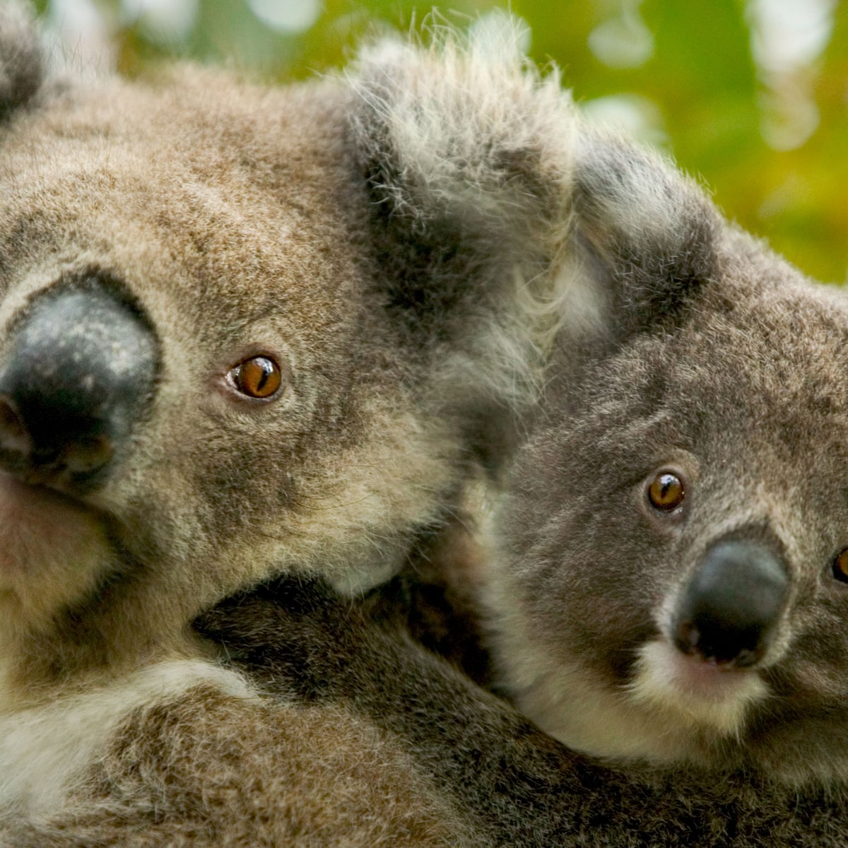 Koala And Kangaroo Culling Considered As Numbers Become Overabundant Wildlife The Guardian