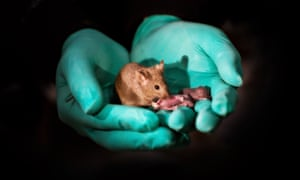 This image shows a healthy adult bimaternal mouse (born to two mothers) with offspring of her own. Researchers at the Chinese Academy of Sciences were able to produce healthy mice with two mothers that went on to have normal offspring of their own. Mice from two dads were also born but only survived for a couple of days. The work, presented October 11 in the journal Cell Stem Cell, looks at what makes it so challenging for animals of the same sex to produce offspring and suggests that some of these barriers can be overcome using stem cells and targeted gene editing.