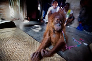 The orangutan was discovered by an undercover investigation team on the 12th June, and four days later, was successfully confiscated by a team involving staff from the Sumatran Orangutan Conservation Program, Local Police and Government Authorities.