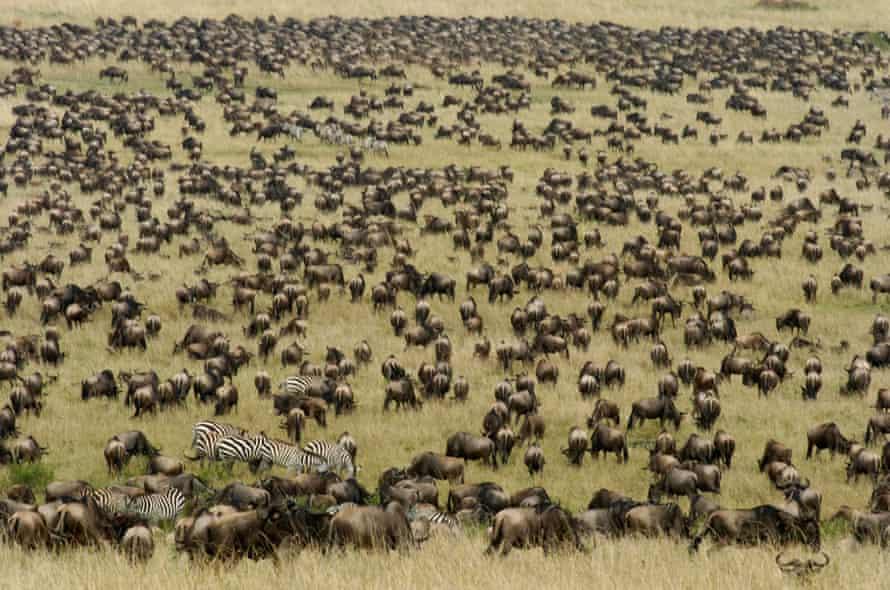 Aerial view of vast herd of wildebeest, Masai Mara Reserve Kenya