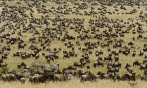 A vast herd of wildebeest on annual migration in the Masai Mara. Kenya is beginning its first national census of wildlife. It will cover 58 national parks and reserves, private and community conservancies and include a count of terrestrial and marine mammals, key birds such as ostriches and kori bustards, and endangered primates. The results are due in August