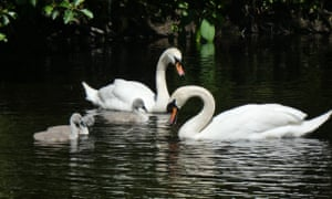 The swans with their cygnets.
