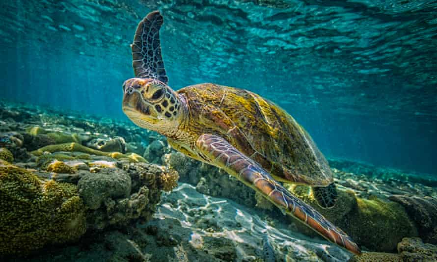 The kaleidoscopic Great Barrier Reef is home to green turtles and countless other animals and corals. On Friday a committee of 21 countries will decide whether the reef is placed on Unesco's world heritage 'in danger' list.