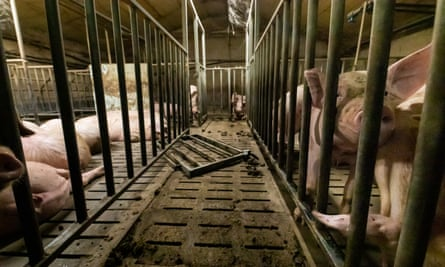 Video footage of pig cannibalism, dead animals in pens, and pigs in overcrowded conditions