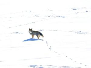 lone fox in a snowy landscape