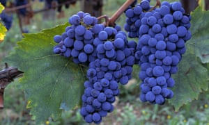 Pick of the bunch: sangiovese grapes in a vineyard in Tuscany.