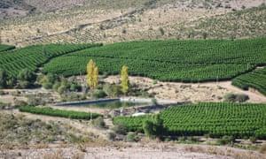An avocado plantation in Petorca, Chile.