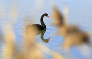 A black swan photographed through the wetland reeds at the Tamar river wetlands conservation area, near Launceston, Tasmania.
