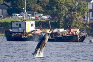One of three northern bottlenose whales swims near Garelochhead, Argyll and Bute. The three whales have been stuck in Gare Loch near Faslane naval base, apparently unable to find their way back to the north Atlantic