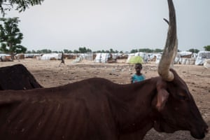 A boy stands behind an emaciated cow in the Muna informal settlement, in Borno state, north-east Nigeria