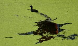 Duckweed, London