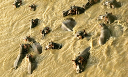 A pod of hippos swim in a river in Mkhuze Game Reserve, 300 km (186 miles) north of the coastal city of Durban, South Africa April 9, 2006.