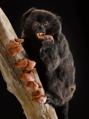 Goeldi's monkey – vulnerable The diet of Goeldi's monkeys consists of more than 70% fungi.