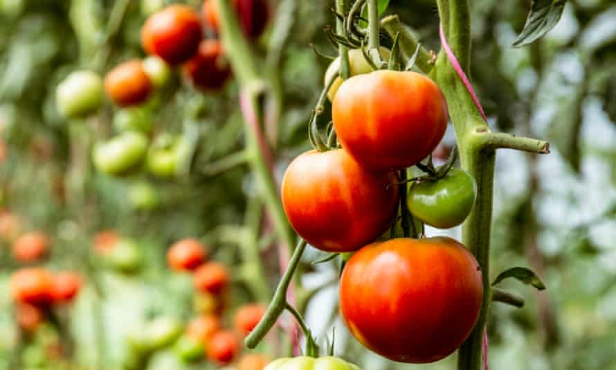 Flavour first: red and green tomatoes on the vine.