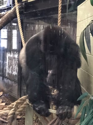 Kumbuka the gorilla moments before the incident at London zoo.