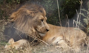 """Australia is banning the import and export of hunting """"trophies"""" made from the body parts of lions."""