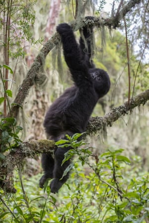 A young gorilla in the Virunga mountains, Rwanda