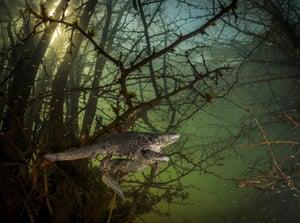 courting sharp-ribbed salamanders