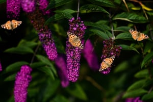 Painted lady butterflies sit on a buddleia shrub in Scotland