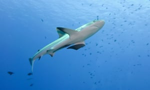 A shark in Palau