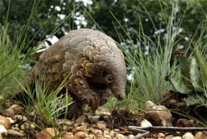A rescued pangolin, the world's most trafficked animal, looks for food on a private property in Johannesburg, South Africa