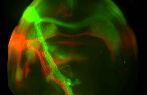 Mice and sugar: Neural projections from the sweet (green) and bitter (red) cortex terminate at distinct targets in the amygdala in the brains of mice.