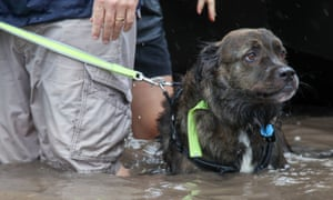 A dog walks through the water in Houston. Massive airlifts are being coordinated to move animals to shelters outside of Texas.
