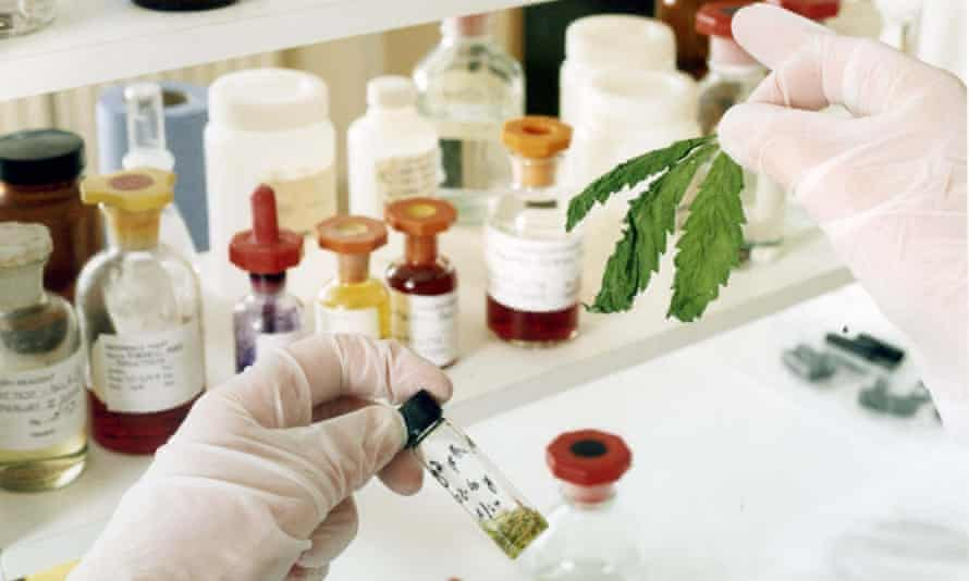 A laboratory analysis of GW Pharmaceuticals' cannabis samples.