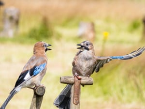 Jays perched on garden tools in Aberystwyth, Wales.