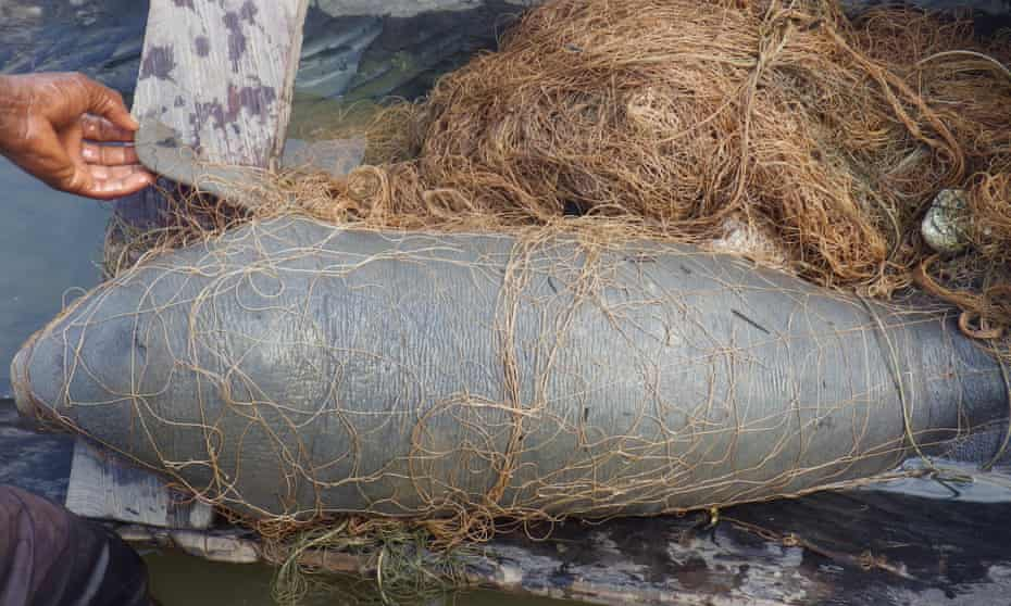 A manatee calf tangled in a fishing net. The mammals face many threats, including death as bycatch and entrapment in dams.