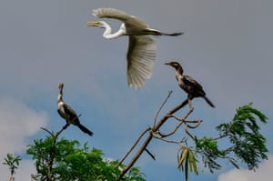 One great egret and two cormorants are seen atop trees and flying over the riverside of the Matias Hernandez River in Costa del Este, Panama City