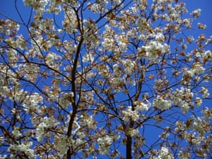 White cherry blossoms stand out against a bright blue sky