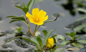 Water primrose, which is regarded as an invasive alien. It originates in South America