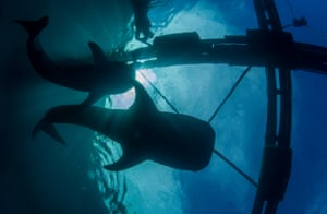 The whale sharks in the sea pens.