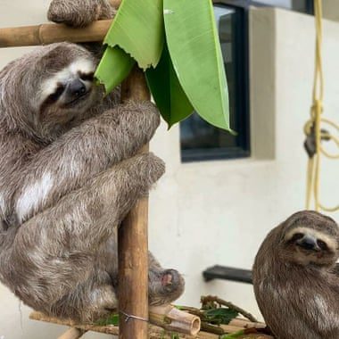 The Rodríguezes hope to return those sloths that are healthy enough to the wild. Photograph: Courtesy of Haydée and Juan Carlos Rodríguez