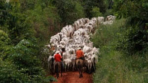 Herders drive cattle in Pará state