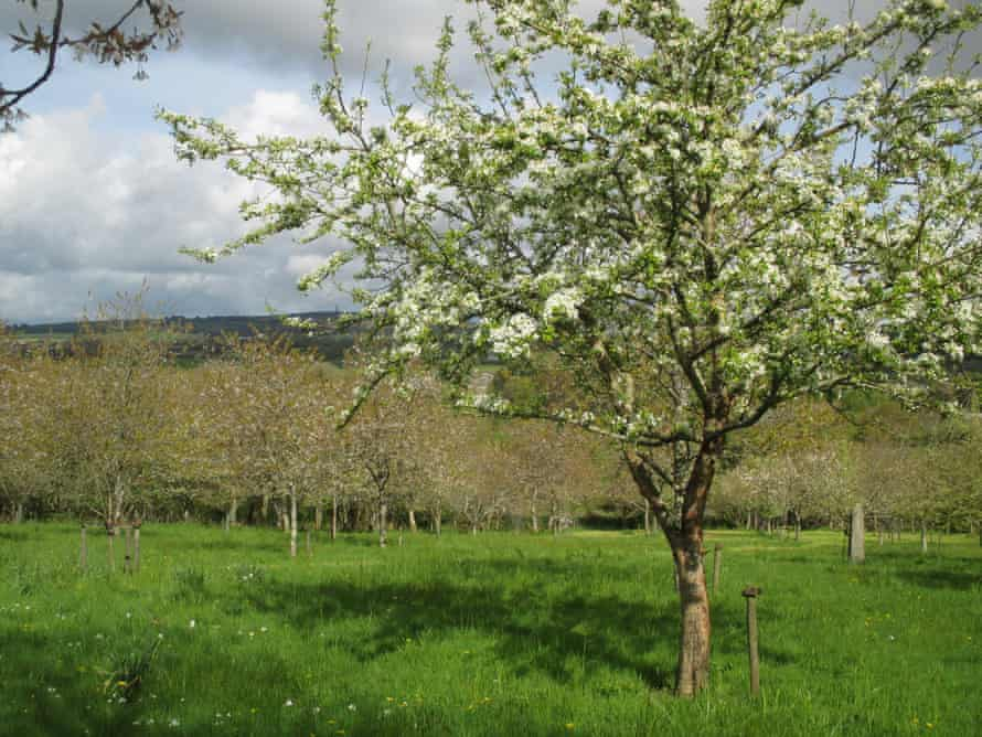 Cherry orchard with pear blossom.
