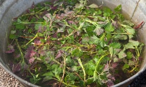 Stinging nettle and comfrey being rotted down to make liquid feed.