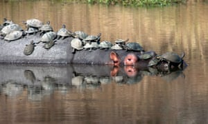Creature comforts: The shelled animals make full use of the hippo's body on August, 31, 2014, in Kruger National Park, South Africa. Terrapins take a break from the water and rest on the back of an enormous hippo.