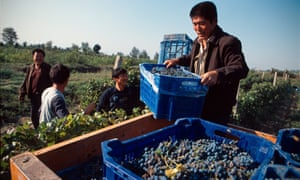Harvest time: workers collect blue baskets full of grapes at the Grace Vineyards Winery, south of Taiyuan in Shanxi province.