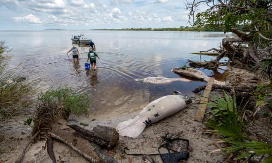 The number of manatee deaths in the first six months of 2021 were more than any other year on record.