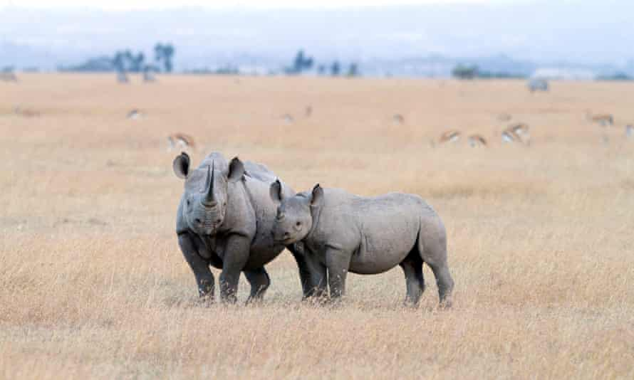Black Rhinoceros with young one, short before sunset, Sweetwaters in Kenya. The country's wildlife population has plummeted over the last four decades, but so have many nations in Africa.